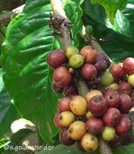 Reife und unreife Kaffeekirschen am Baum
