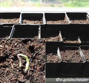 Aussaat von Tomatensamen in Töpfen auf der sonnigen Fensterbank