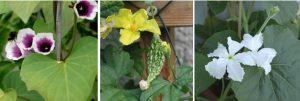 Bluehende rankende Balkonpflanzen für Pflanzkübel