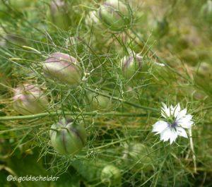 Nigella Pflanze mit Kapseln und Blüte