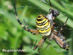 Wespenspinne mit Beute
