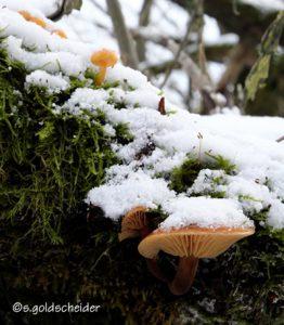 Samtfußrübling, ein Winterpilz