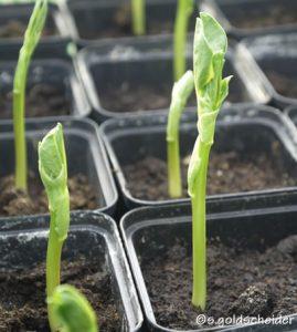Vorkultur von Gemüse-Setzlingen in Töpfen
