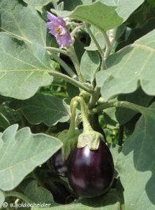 Aubergimen mit ihren violetten Blüten, blau-grünen Blättern und schwarz glänzenden Früchten sind eine Dekoration