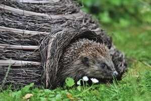 pixabay.com/photos/hedgehog-spur-hannah-wild-animal-5385804